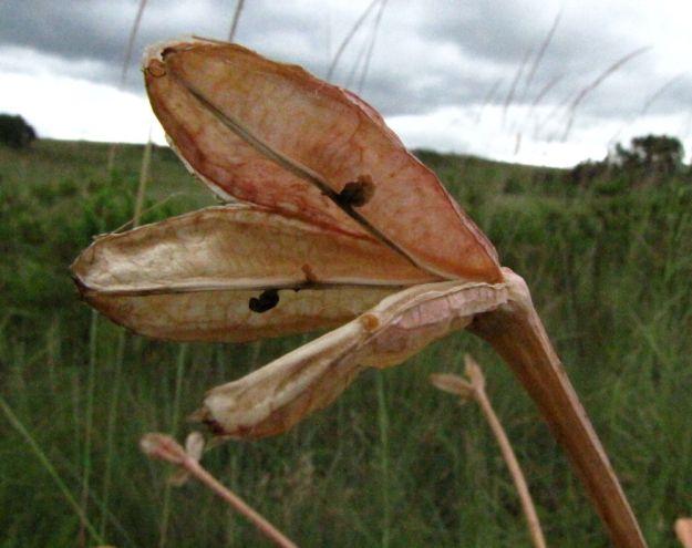 farm brunsvigia seed pod