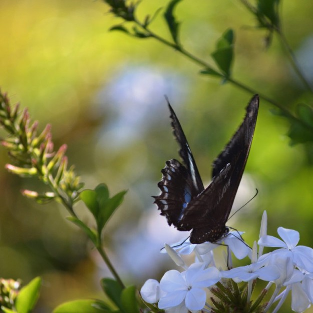 Green-banded-swallowtail-LR-6