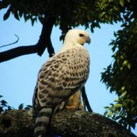 Crowned Eagle Electrocuted