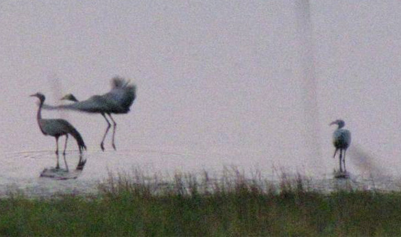 juv blue crane flying