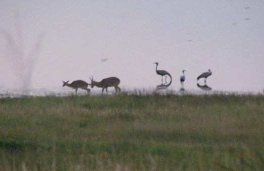 reedbuck and blue crane