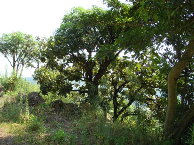 WVC - Erythrina Rotundifolia and Cussonia sp