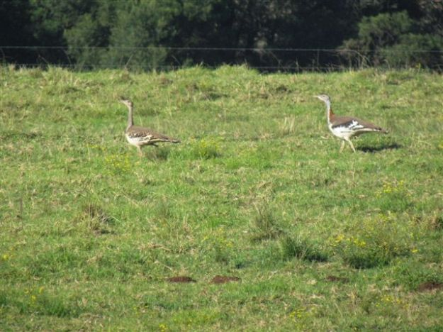 A pair of Stanleys Bustards
