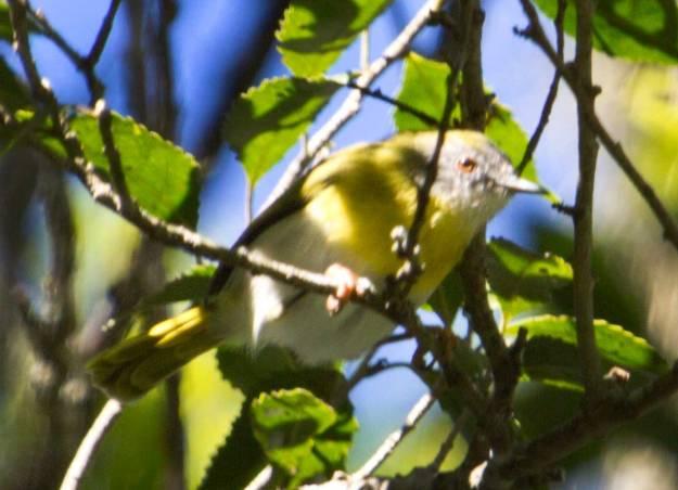 Boston_6230_Yellow-breasted-Apalis