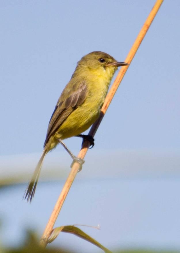 Boston_6277_Dark-capped-Yellow-Warbler