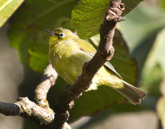 Boston_6591_Cape-White-eye