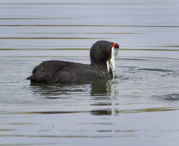 Boston_6593_Red-knobbed-Coot