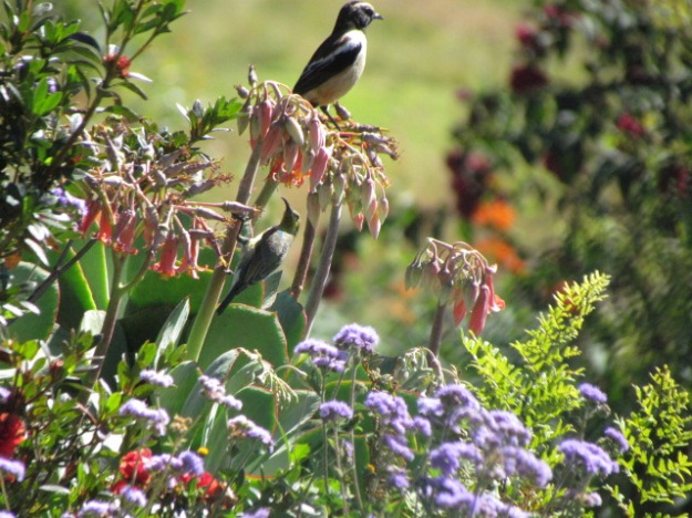 Buffstreaked chat and malachite sunbird in eclipse