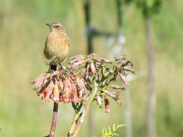 Common female stonechat
