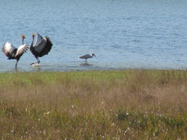 Crowned crane dancing for joy and one unconcerned spoonbill