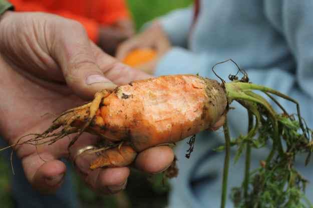 duiker_carrot