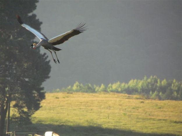 I took 3 pics of crowned crane flying