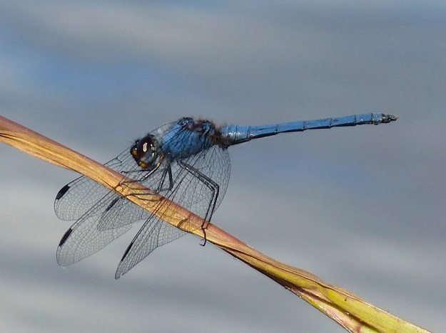 Insect Dragonfly Dorsal dropwing