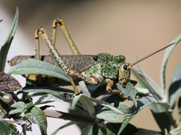 Insect Grasshopper (1)
