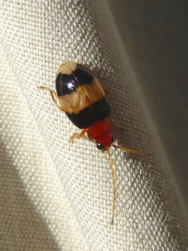 Insect Leaf Beetle