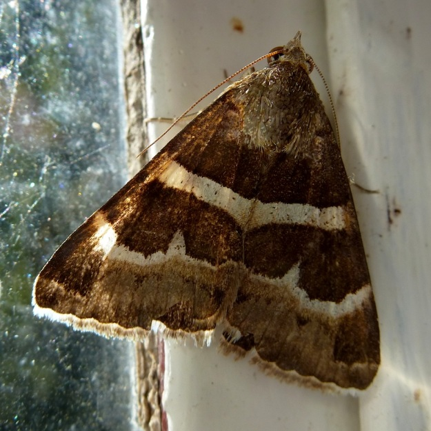 Moth 01 Stolid Lines moth