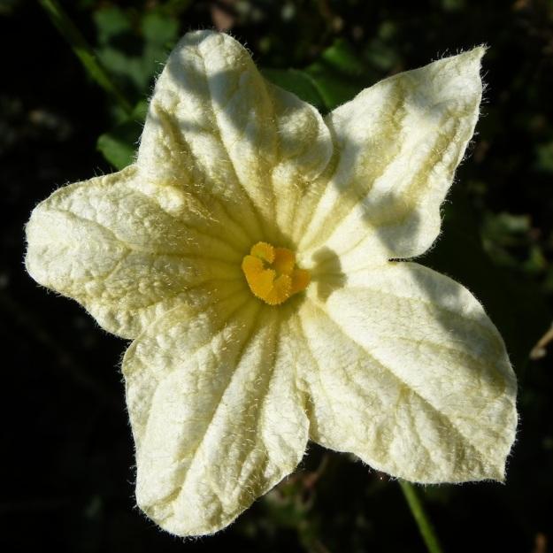 Plant Cucumis hirsutus