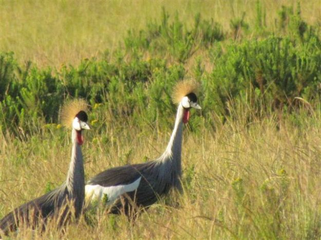 the crowned crane kept flying ahead of us and landing.  They were very curious.