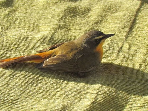 This cape robin flew into our veradah door and took ten minutes to recover before flying off