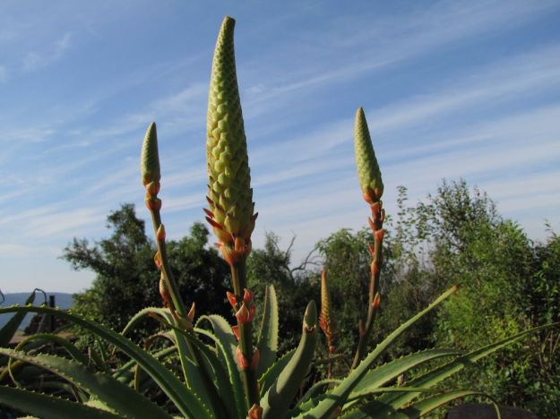 worlds view aloe flowers
