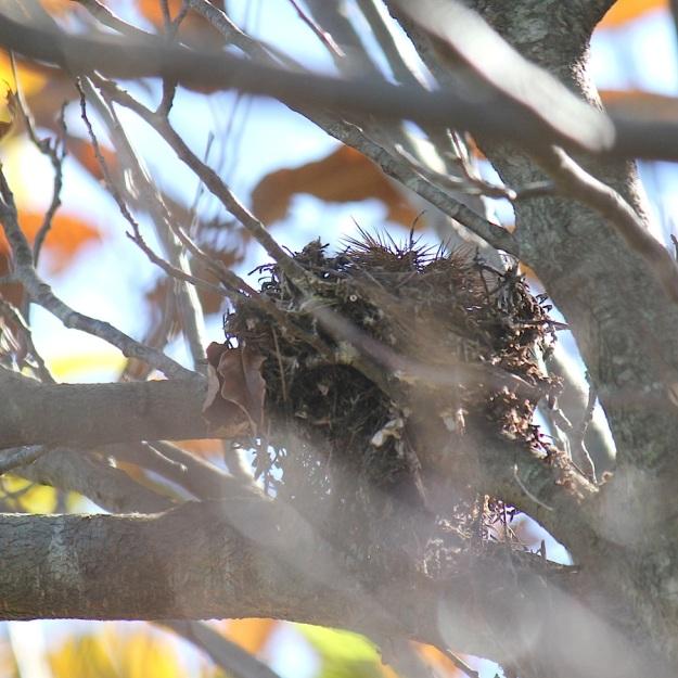 Bird Dark-capped Bulbul nest