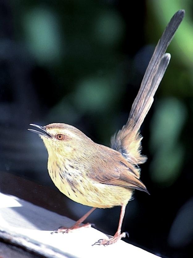 Bird Drakensberg Prinia a