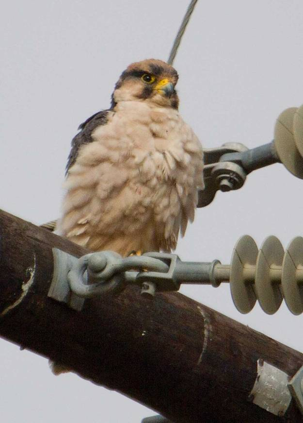 Boston_6989_Lanner-Falcon_web
