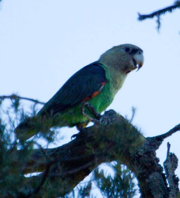 Boston_7606_Cape-Parrot_male