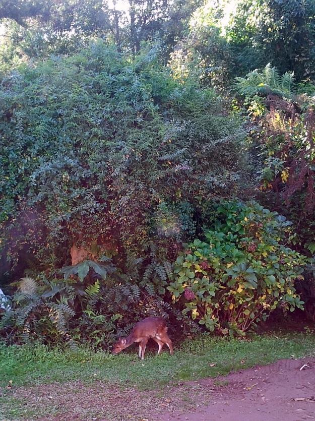 Bushbuck at Thistledown