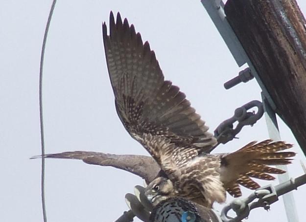 DSCF1670 (3)Lanner Falcon