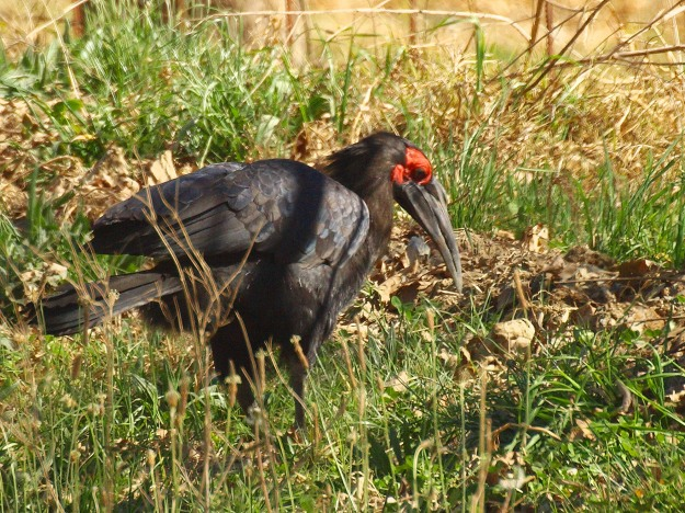 Ground Hornbill in the Karkloof - Adult female 1