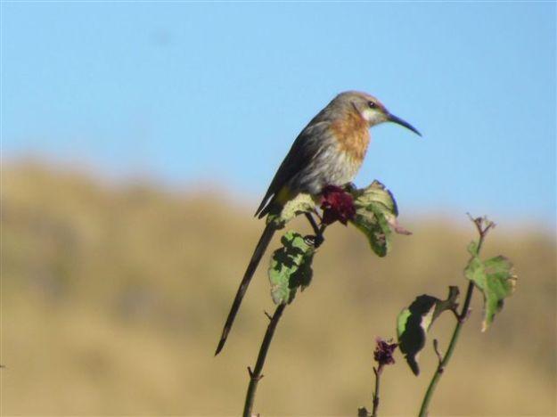 guerneys surgarbird