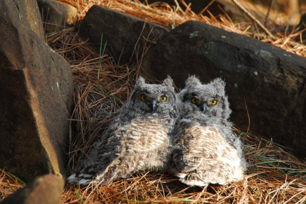 owl chicks.