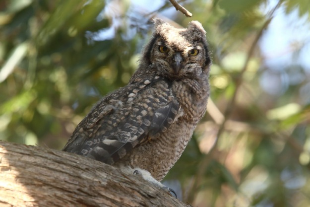 Owl, Spotted Eage juv Karkloof  - Adam Riley 2