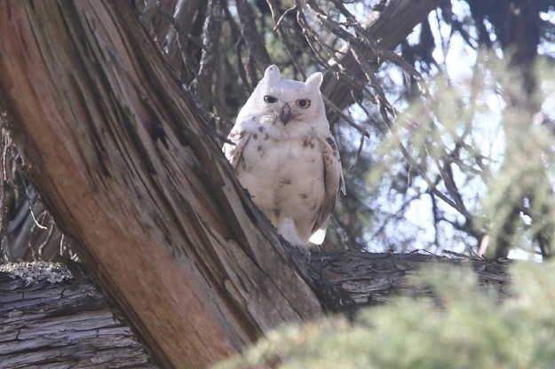 Owl, Spotted Eage leucistic Karkloof  - Adam Riley2