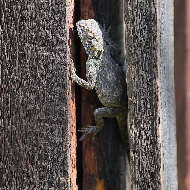 Reptile Agama