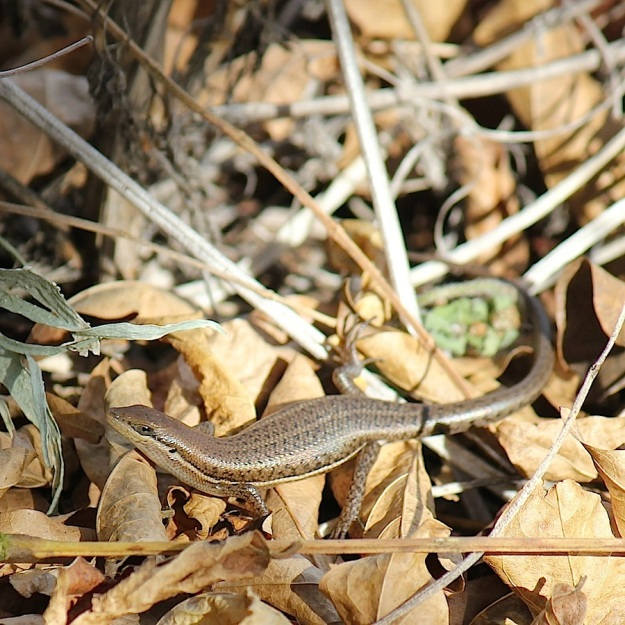 Reptile Variable Skink