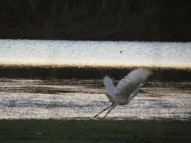 spoonbill sunset
