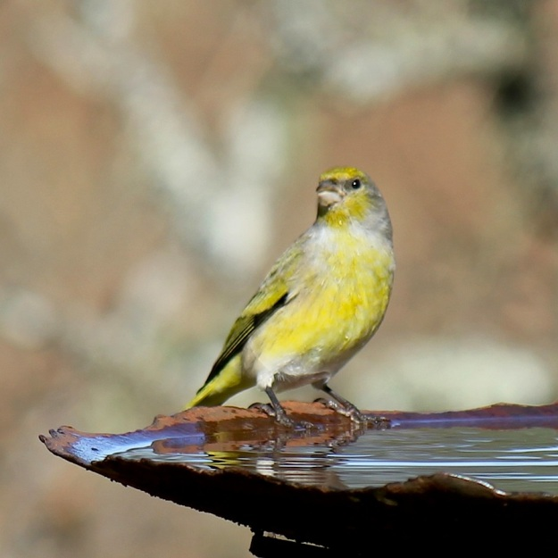 Bird Cape Canary