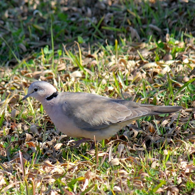 Bird Cape Turtle-Dove