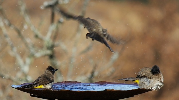 Bird Dark-capped Bulbuls