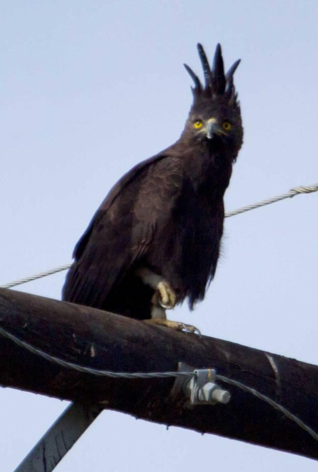 Boston_7299_Long-crested-Eagle
