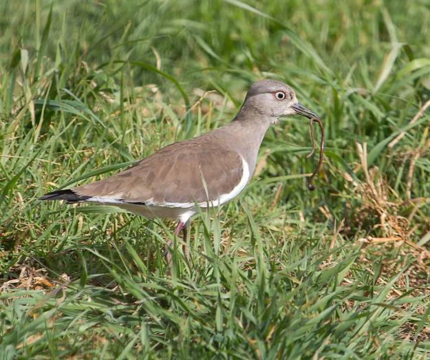 Boston_7420_Black-winged-Lapwing