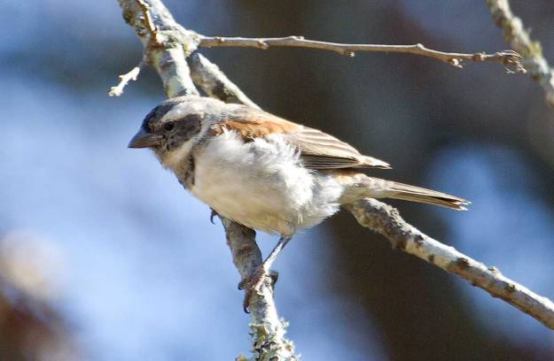 Boston_7630_Cape-Sparrow_juv