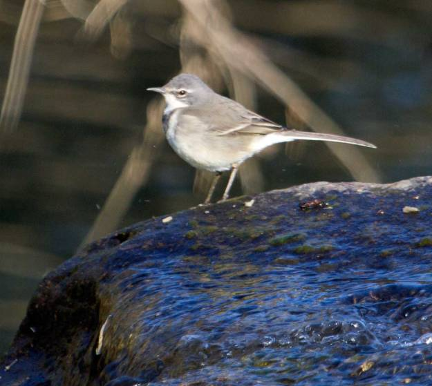 Boston_8474_Cape-Wagtail
