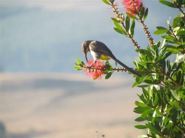 guerney sugar bird