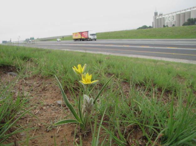 hypoxis beside highway
