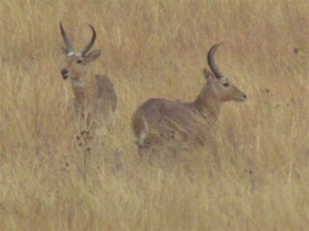 male reedbuck after fight