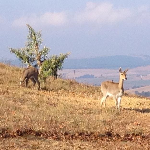 Mammal Mt Reedbuck 02