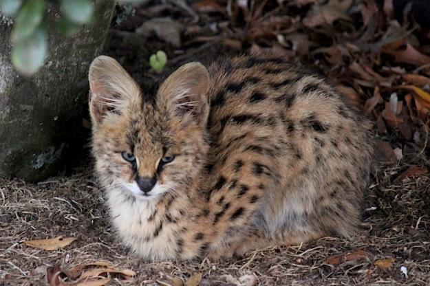 Mammal Serval kitten